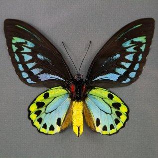 Ornithoptera and Trogonoptera Ornithoptera priamus urvillianus f. flavomaculata M A1/A1- PNG