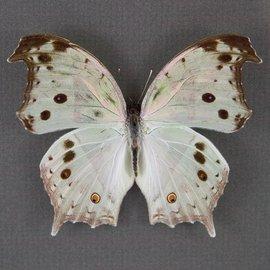 Nymphalidae Salamis parhassus M A1 RCA