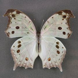 Nymphalidae Salamis parhassus M A1- RCA