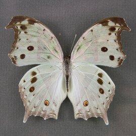 Nymphalidae Salamis parhassus F A1/A1- RCA