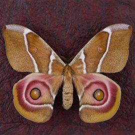 Saturnidae Antheraea suraka F A1 Madagascar