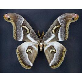 Saturnidae Epiphora rectifasciata M A1 Cameroon
