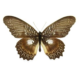 Nymphalidae Cethosia myrina sarnada F A1 Indonesia