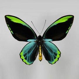 Ornithoptera and Trogonoptera Ornithoptera allotei M A1/A1- Indonesia