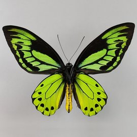 Ornithoptera and Trogonoptera Ornithoptera allotei PAIR A1 Indonesia