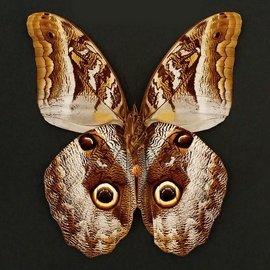Brassolidae Caligo superbus M A1 Peru