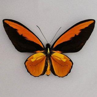 Ornithoptera and Trogonoptera Ornithoptera croesus lydius M A1 Indonesia