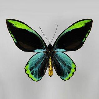 Ornithoptera and Trogonoptera Ornithoptera allotei PAIR A1 Indonesia