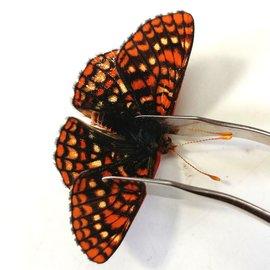 Nymphalidae Euphaedryas anicia anicia M A1 Canada