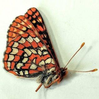 Nymphalidae Euphaedryas anicia anicia M A1/A1- Canada