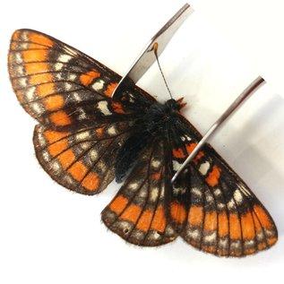 Nymphalidae Euphydrias gilletti M A1 Canada