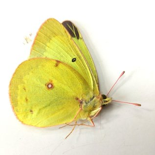 Pieridae Colias philodice eriphyle M A1/A1- Canada
