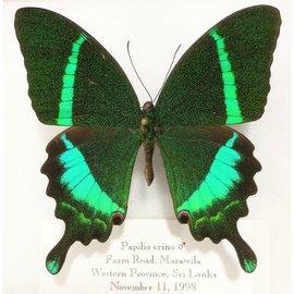 Papilionidae Papilio crino M A1- Sri Lanka