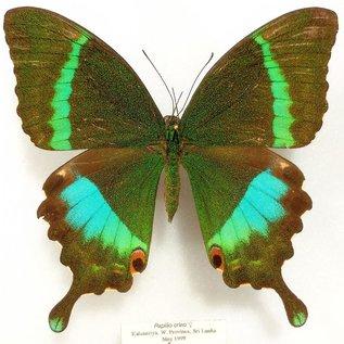 Papilionidae Papilio crino F A1- Sri Lanka