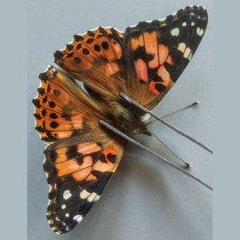 Nymphalidae Vanessa cardui F A1 Canada