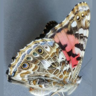 Nymphalidae Vanessa cardui M A1 Canada