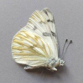 Pieridae Pontia occidentalis occidentalis PAIR A1- Canada