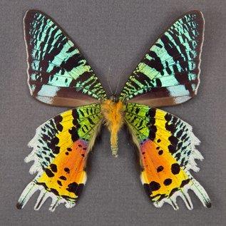 Uraniidae Urania (Chrysiridia) ryphaeus M A1 Madagascar