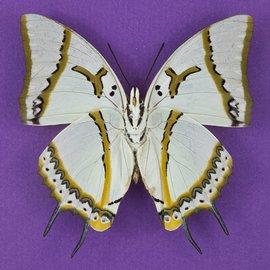 Nymphalidae Polyura eudamippus eudamippus M A1 Thailand