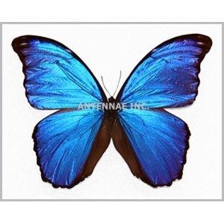 Morphidae Morpho menelaus alexandrovana M A1 Peru