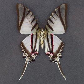 Papilionidae Protographium (Eurytides) protosilaus nigricornis M A1 Peru