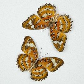 Nymphalidae Cethosia biblis phanaroia M A1 Philippines