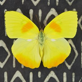 Pieridae Phoebus philea M A1 Bolivia