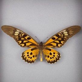 Papilionidae Papilio antimachus M A1 RCA