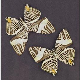 Nymphalidae Colobura dirce dirce M A1 Peru