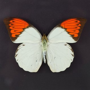Pieridae Hebomoia glaucippe aturia M A1 Thailand