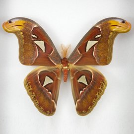 Saturnidae Attacus atlas F A1 Indonesia