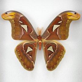 Saturnidae Attacus atlas PAIR A1 Indonesia