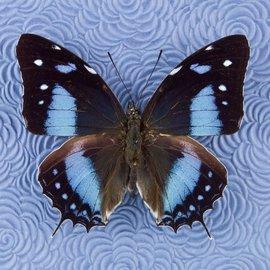 Nymphalidae Baeotus (Megistanis) amazonicus M A1 Peru