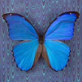 Butterflies Morpho didius - 25M - A1 Peru
