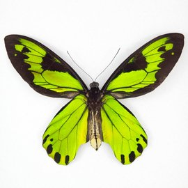 Ornithoptera and Trogonoptera Ornithoptera victoriae regis M A1- PNG