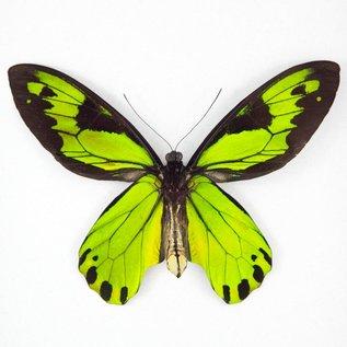 Ornithoptera and Trogonoptera Ornithoptera victoriae regis M A1- PNG