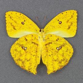 Pieridae Phoebus rurina M A1 Peru