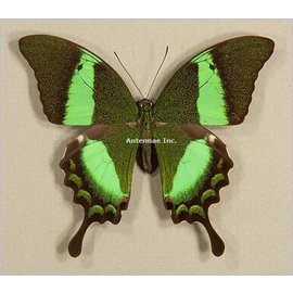 Papilionidae Papilio daedalus angustatus M A1 Phillipines