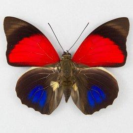Nymphalidae Agrias claudina lugens M A1 Peru