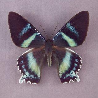 Uraniidae Alcides agathyrus M A1 Indonesia