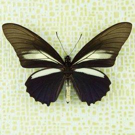 Papilionidae Battus crassus crassus M A1 Peru