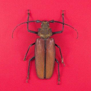 Cerambycidae Callipogon (Enopluceros) armillatus M A1 Peru 9.5 cm