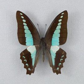 Papilionidae Graphium sarpedon colus M A1 Philippines