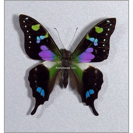 Butterflies Graphium weiskei - 5M - A1 Indonesia