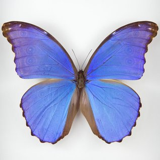 Morphidae Morpho didius M A1 Peru