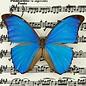 Butterflies Morpho menelaus menelaus - 5M - A1 Guyana