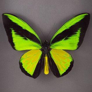 Ornithoptera and Trogonoptera Ornithoptera goliath procus M A1 Indonesia
