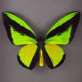 Ornithoptera and Trogonoptera Ornithoptera goliath procus P A1 Indonesia