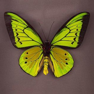 Ornithoptera and Trogonoptera Ornithoptera goliath procus M A1- Indonesia
