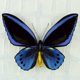 Ornithoptera and Trogonoptera Ornithoptera priamus urvillianus f. flavomaculata M A1 PNG